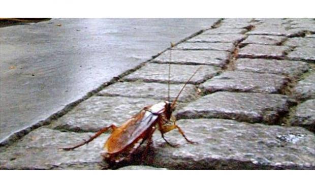 Disinfestazione linee fognarie da scarafaggi
